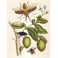 from Metamorphosis insectorum Surinamensium, Plate XLVIII