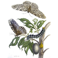 from Metamorphosis insectorum Surinamensium, Plate XX. (Thysania agrippina)