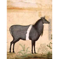 Nilgai Blue Cow