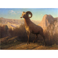 A Rocky Mountain Sheep, Ovis, Montana