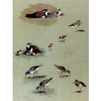 Study of sandpipers, cream coloured coursers and other birds