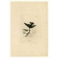Plate 98 White-bellied Swallow