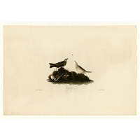 Plate 10. Brown Titlark